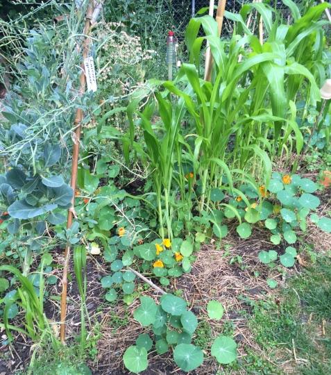 parcelle maïs haricots