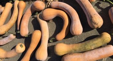 courges semences de pays